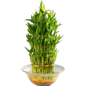 Three Tier Bamboo Plant in Bowl to Chandigarh