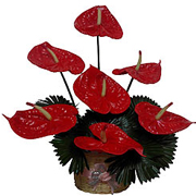 Exotic Red Long Lasting Anthurium Flowers to Gurgaon