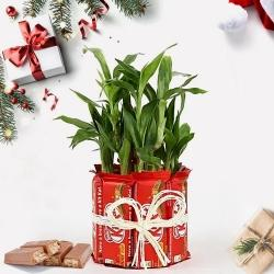 Marvelous Lucky Bamboo Plant with Kitkat Arrangement to Adugodi
