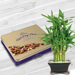 Fantastic Combo of Lucky Bamboo Plant with Cadbury Dry-fruit Tin to Allahabad