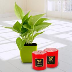 Exquisite Money Plant in Plastic Pot N Iris Aroma Pillar Candle to Aleppy