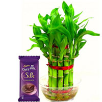 Lucky Wishes Bamboo Plant with Cadbury Silk Bar to Pune