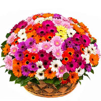 Enchanting Basket Arrangement of 150 Colorful Gerberas