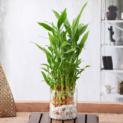 Captivating 3 Layer Good Luck Bamboo Plant in Glass Pot<br> to Alapuzha