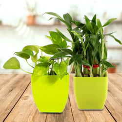 Beautiful Gift Set of 2 Good Luck Plants in Attractive Plastic Pots to Ahmedabad