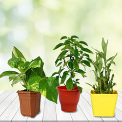 Exotic Combo of Good Luck Plants in Plastic Pots to India
